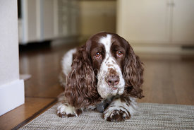 Brown and White Spaniel Lying on Rug with Funny and Worried but funny Expression