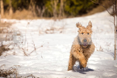 black and tan airedale terrier running through snow in field