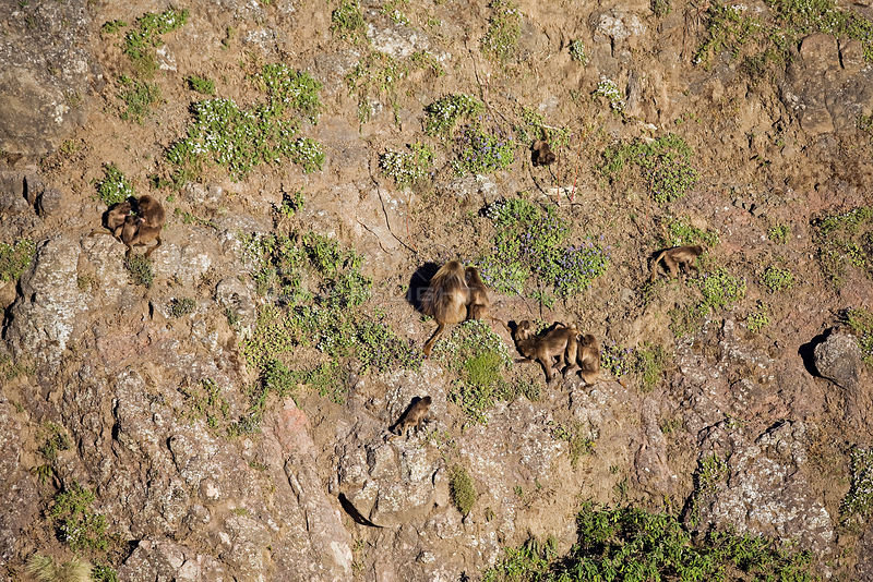 Gelada baboon (Theropithecus gelada) group clinging to cliff face, sleeping site, Simien Mountains National Park, Ethiopia, November