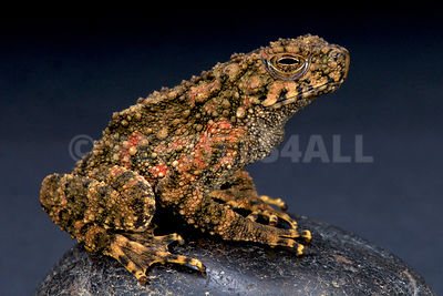 Giant river toad (Phrynoides aspera)  photos