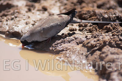 Namaqua dove/Maskedue - South Africa