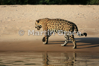 Female Jaguar 'Hunter' (Panthera onca) walks away from the edge of Three Brothers River, Northern Pantanal, Mato Grosso, Brazil. Image 30 of 62; elapsed time 40mins