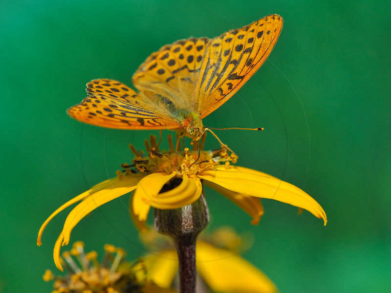 Tabac d'Espagne - Silver-washed fritillary (Argynnis paphia) photos
