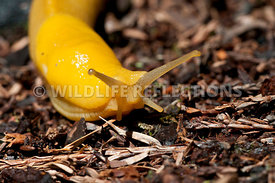 Banana Slug Litter Turn 1