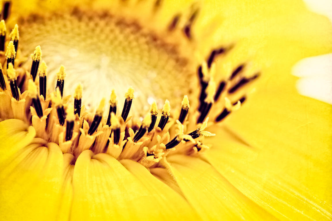 Closeup of a yellow sunflower