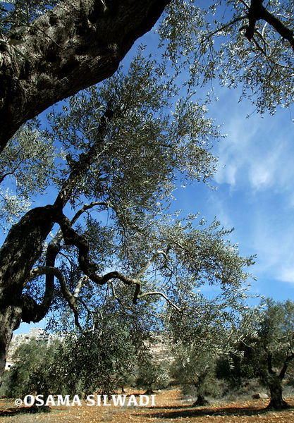 Olive Tree photos