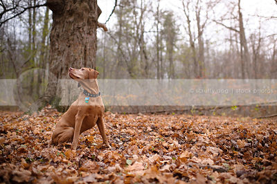 handsome red gundog posing sitting looking away in autumn leaves