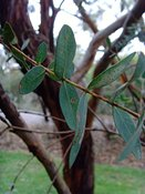 Eucalyptus parvula, Small Leaved Gum Tree