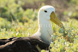 waved_albatross_espanola-43