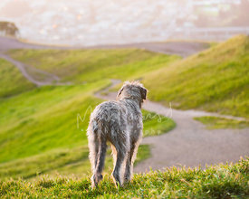 Large dog looking at beautiful green landscape from a hill top