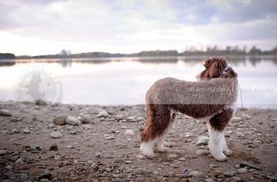 brown and white scruffy dog standing on beach looking away