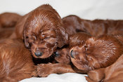 Three week old Irish Setter puppies