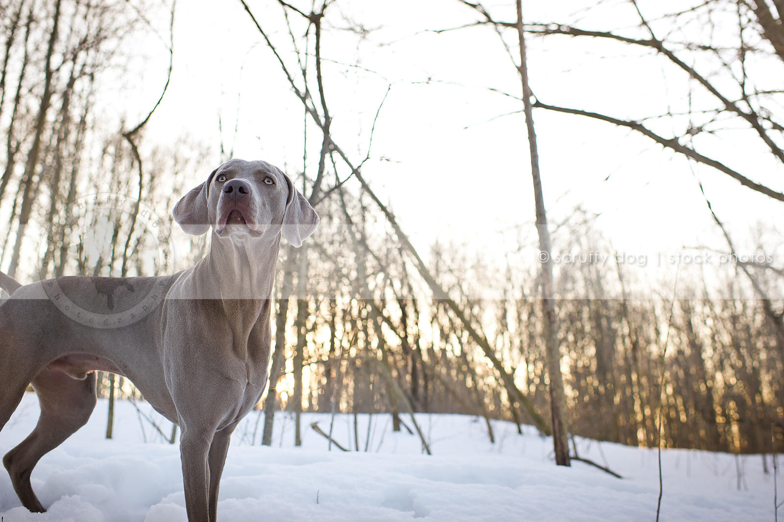 alert grey weimaraner dog standing in winter snow with sunflare