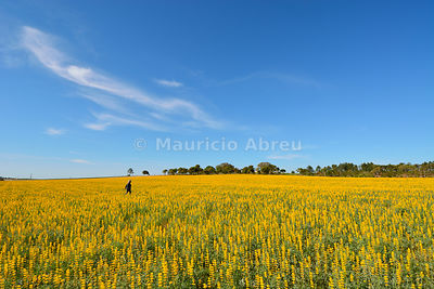 A field of yellow lupine. Melides, Portugal (MR)