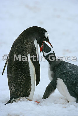 Gentoo Penguin (Pygoscelis papua) feeding its chick, Petermann Island, Antarctic Peninsula