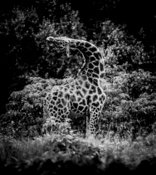 1664-Reticulated_Giraffe_Kenya_2013_Laurent_Baheux
