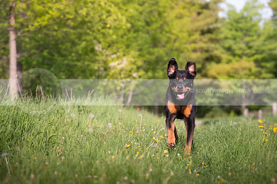 goofy black and tan dog with ears up running in mowed grass