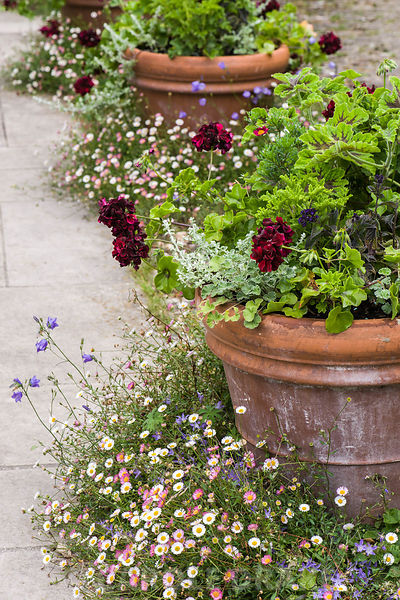 A line of terracotta pots in the Mediterranean style courtyard are planted with ivy leaved pelargoniums, helichrysum, heliotrope and argyranthemums and surrounded by self seeded Erigeron karvinskianus.
