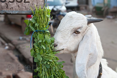 A white goat eats fodder tied to a pole, Jodhpur, Rajasthan, India