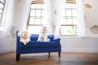 two cute small white dogs posing on settee by windows indoors
