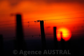 sunset in vineyard