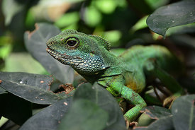 Iguana_on_leaves