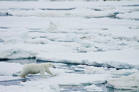 A female polar bear crosses an icy gap on her journey through Storfjoren.