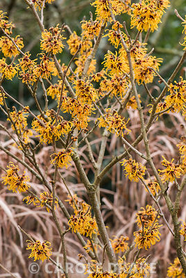 Hamamelis x intermedia 'John'. The Sir Harold Hillier Gardens/Hampshire County Council, Romsey, Hants, UK