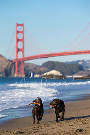 Two Brown Dogs Running with Stick near Golden Gate Bridge