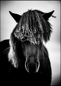The untameable mane of curls, Wild horse of Iceland 2015 © Laurent Baheux