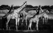 1131-Herd_of_giraffes_Laurent_Baheux