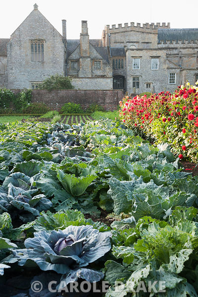 Ordered rows of cabbages in the kitchen garden, beside blocks of bright dahlias. Forde Abbey, nr Chard, Dorset, UK