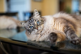 Blue-eyed domestic cat lying on glass table
