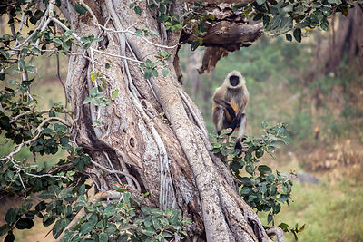 Langur monkey in an old fig tree at the Ajaypal temple, near Pushkar, Rajasthan, India