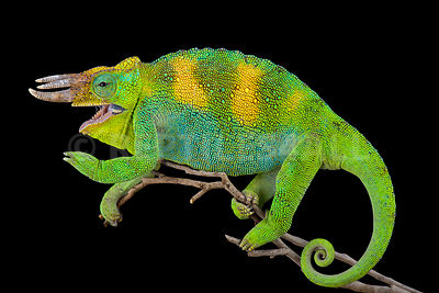 Johnston's chameleon (Trioceros johnstoni) photos