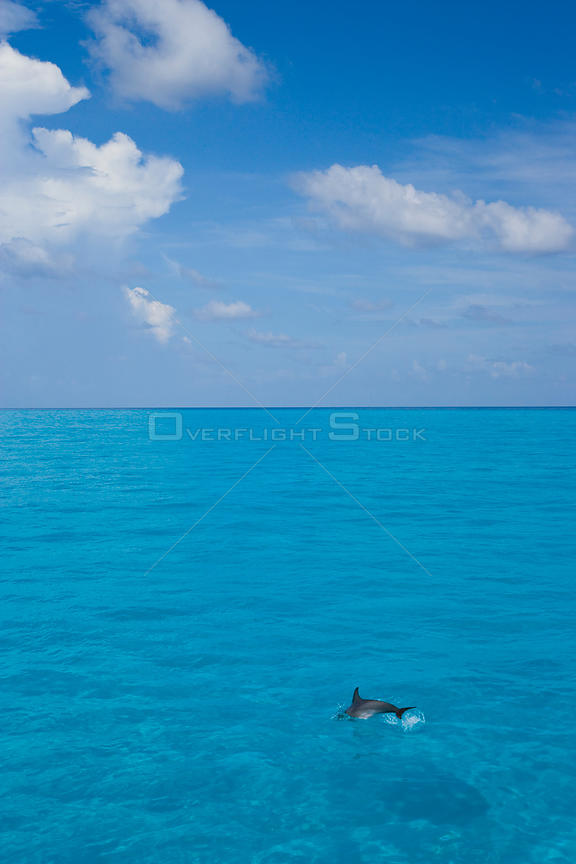 Atlantic spotted dolphin {Stenella frontalis} jumping in blue sea, Bahamas, Caribbean