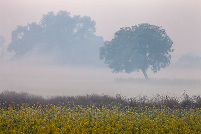 A tree in a farm field on a misty winter morning in Allahabad, India.