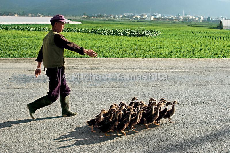 The people of Xiao are Muslim, as was Zheng He. Here a villager takes his ducks for a walk.