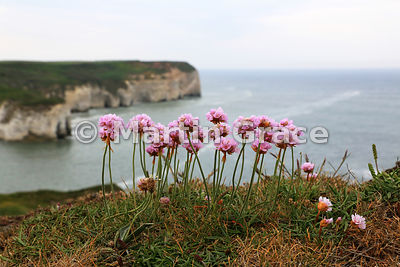 Thrift (Armeria maritima ssp maritima), Flamborough Head, East Riding of Yorkshire, England