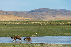 Horses in pond and in background sheep, goats and cows at welands near Gun-Galuut Nature Reserve, Mongolia.