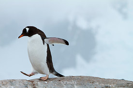 A gentoo penguin walking on ice around Petermann Island.
