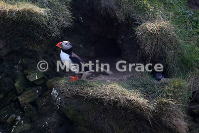 Atlantic Puffin (Fratercula arctica) on the cliffs of Sumburgh Head (RSPB), Mainland South, Shetland. Another bird is visible just inside its nest burrow to the right of the image.