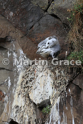 Well-grown Black-Legged Kittiwake (Rissa tridactyla) nestling preening on the nest, Hafnarholmi, Austurland (Eastern Region, East Iceland), Iceland