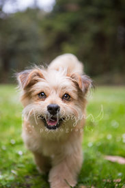 Smiling terrier mix walking through grass