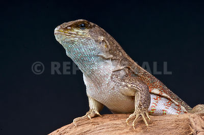 red-sided curly-tailed lizard (Leiocephalus schreibersii)  photos