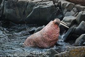Pacific Walrus male climbing up onto shore