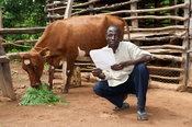 Farmer reading the milk records for his ayrshire dairy cow, while the cow eats crop behind him. Kenya
