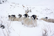swaledale sheep making their way trhough snow to get fed by shepherd, Cumbria, UK