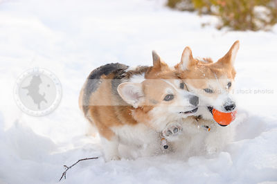 two short corgi dogs wrestling with ball in cold winter snow setting