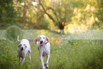 two senior white hounds racing down summer trail